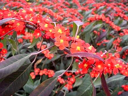 Euphorbia Fulgens Home